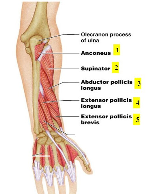Deep Posterior Compartment of forearm muscles