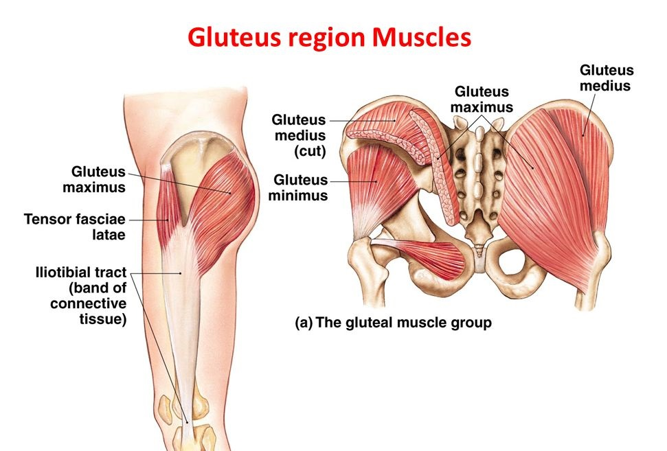Gluteal Muscles : Attachment, Nerve Supply & Action