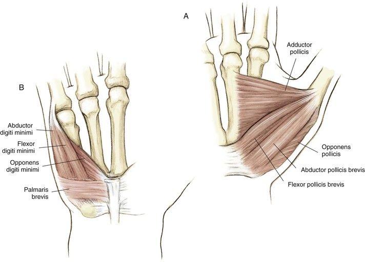 Hypothenar Muscles