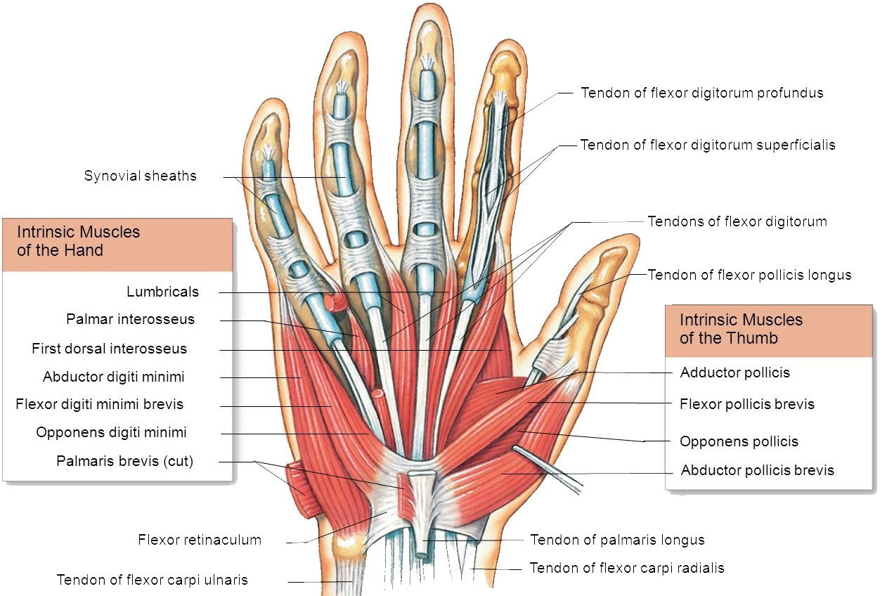 hand muscles