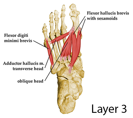 Third Layer of the Plantar Aspect of the Foot