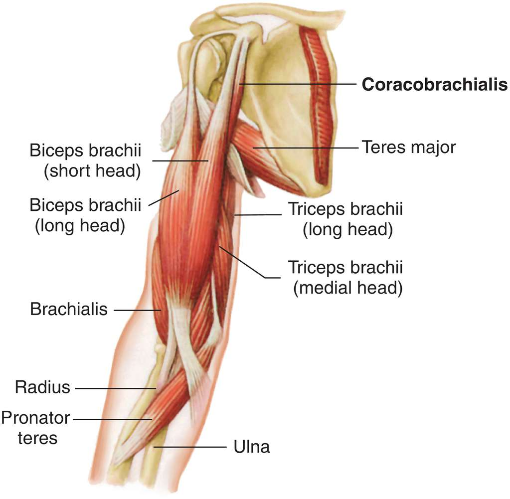 Arm Muscles Attachment Nerve Supply Action Anatomy Info