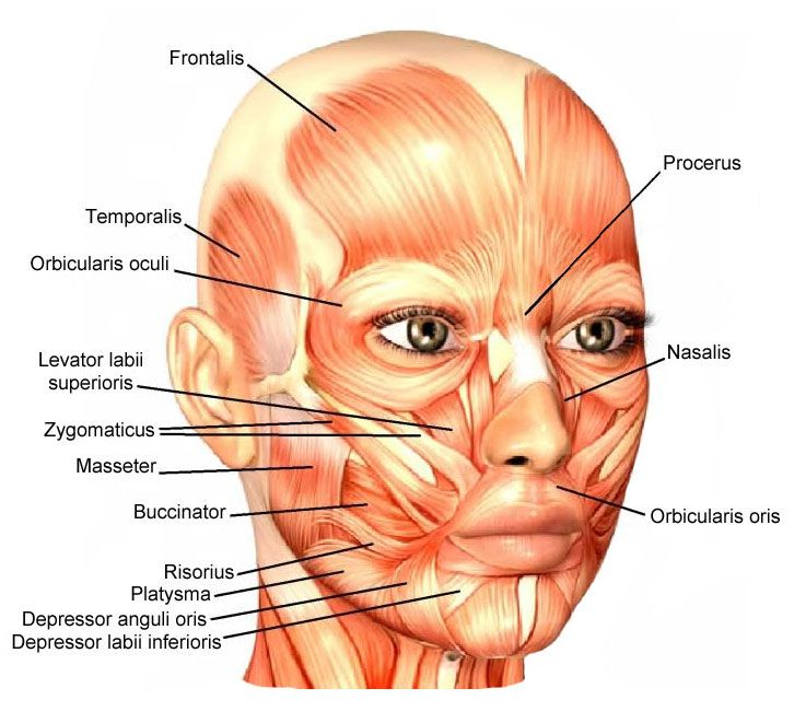 Facial Muscles : Attachment, Nerve Supply & Action