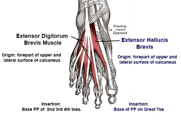 foot muscles dorsal aspect