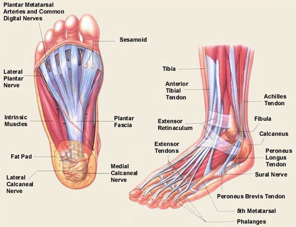 Foot Muscles : Attachment, Nerve Supply & Action
