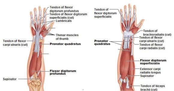 forearm deep anterior muscles