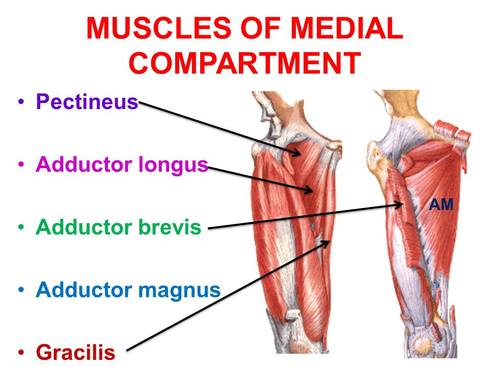 medial thigh muscles