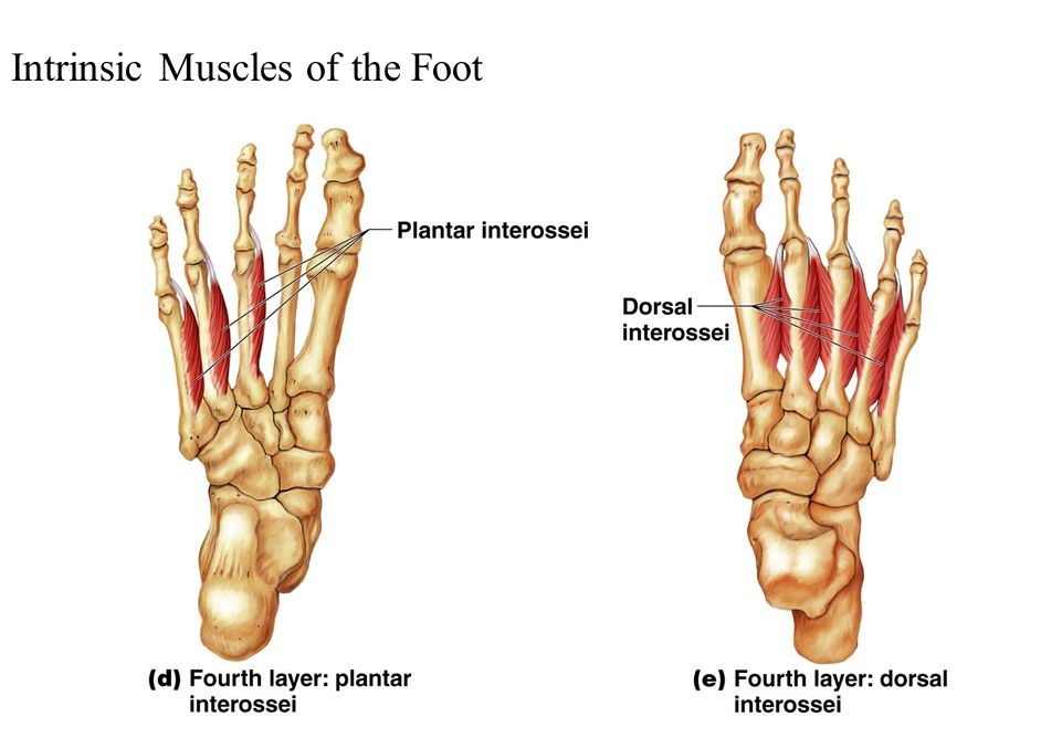 palmar and dorsal interossei of foot