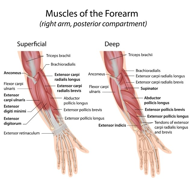 posterior forearm muscles
