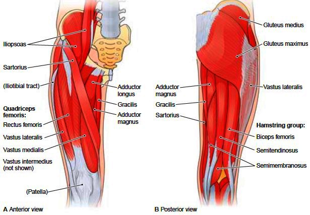 posterior thigh muscles