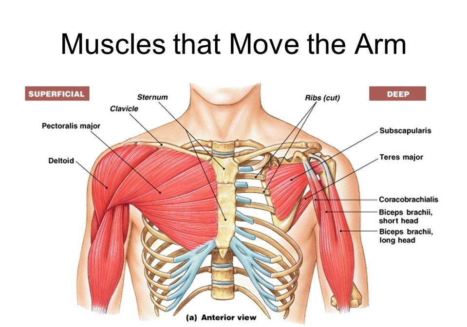 Arm Shoulder Muscles Diagram Anterior - Search For Wiring Diagrams •