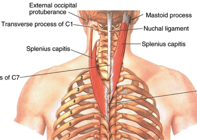 Back Muscles: Attachments, Nerve Supply & Action - Anatomy Info