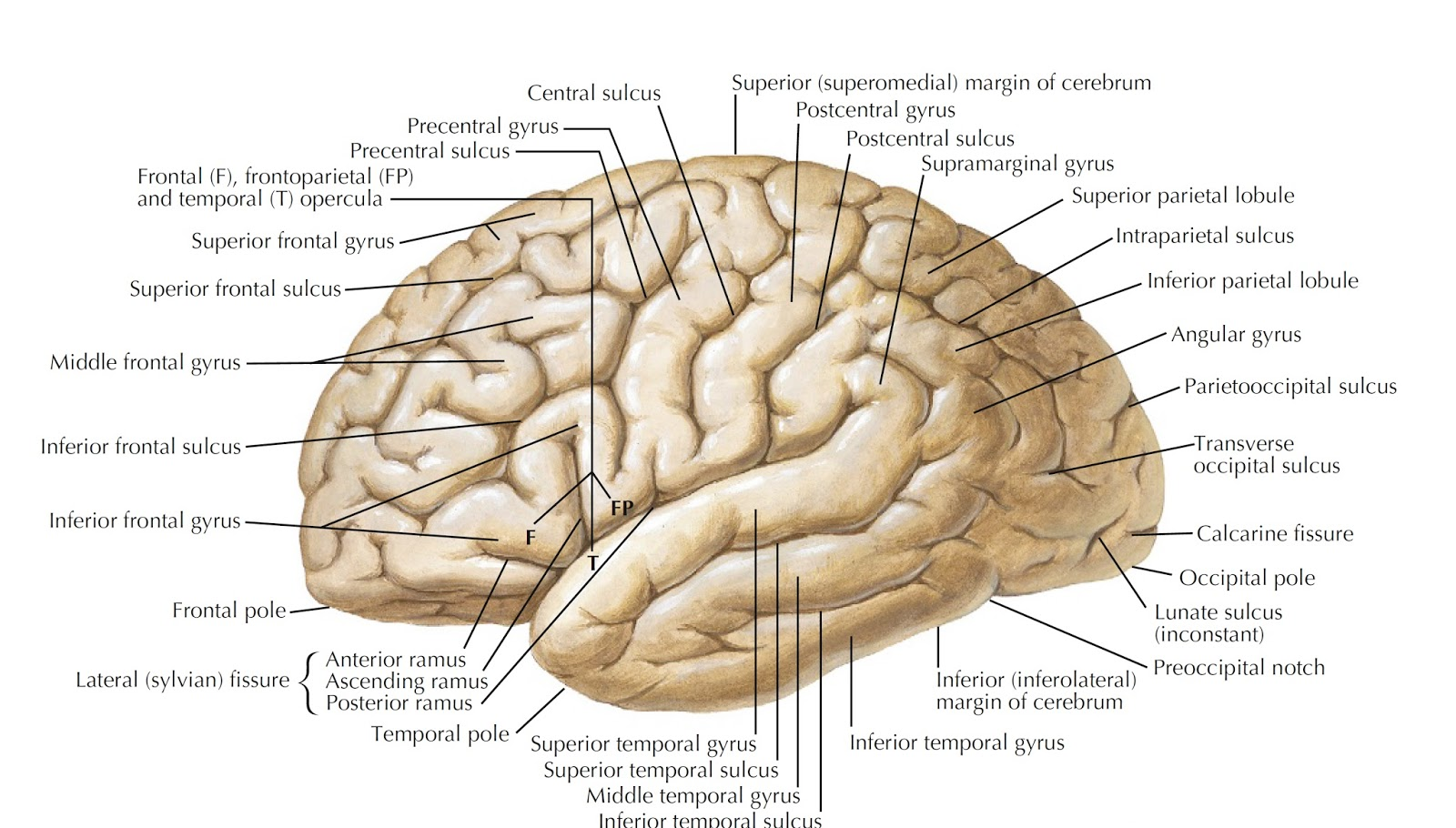 Frontal Lobe : Anatomy, Location & Function - Anatomy Info