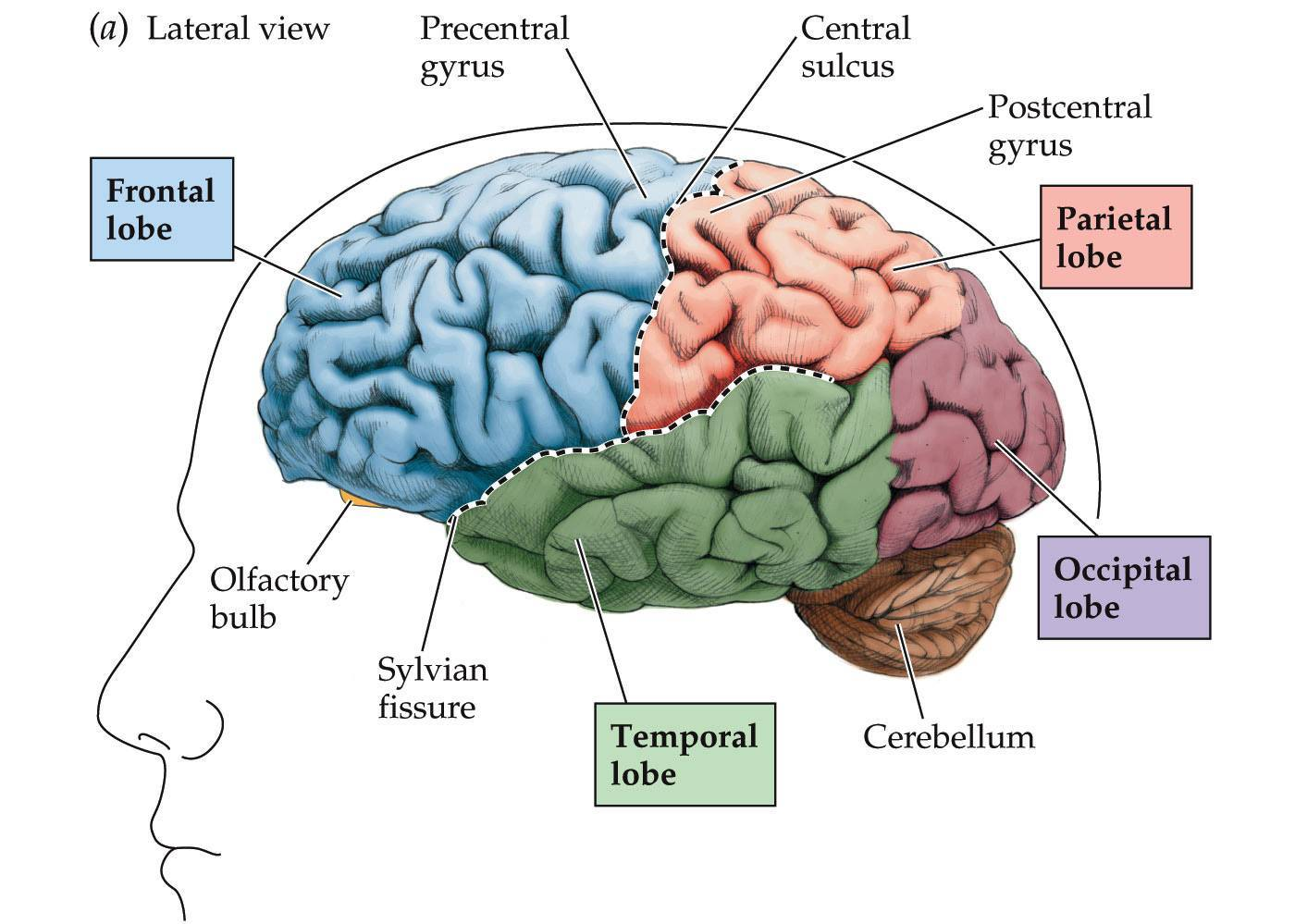 Frontal Lobe : Anatomy, Location & Function