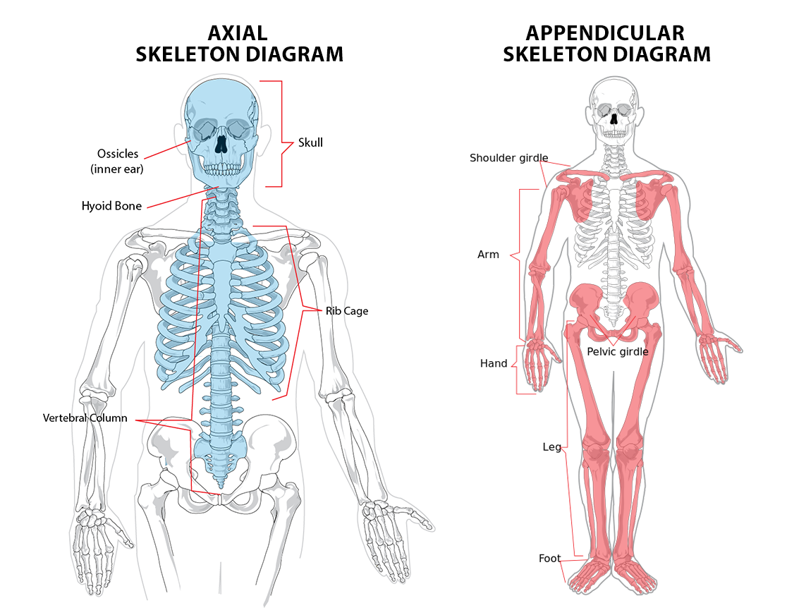 Appendicular & Axial Skeleton Anatomy