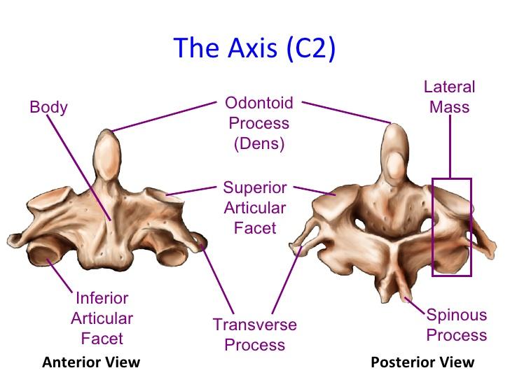 axis bone anatomy