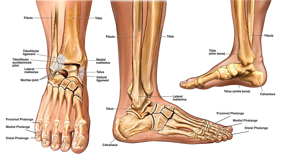 Foot Bones Foot Pain Anatomy Info