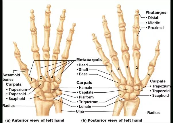 Hand Bones : Carpals, Metacarpals & Phalanges