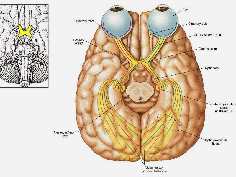 Occipital Lobe : Anatomy, Location & Function - Anatomy Info