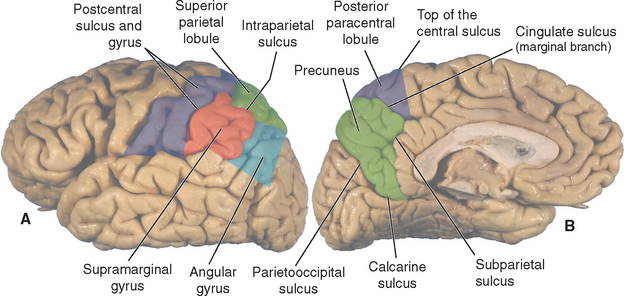 parietal lobe anatomy