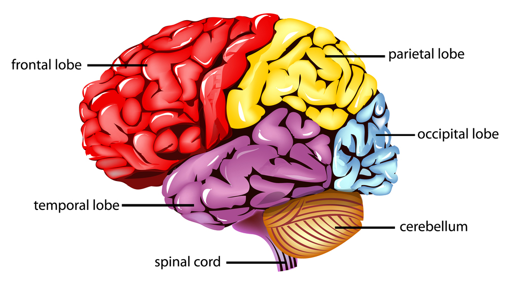 Parietal Lobe : Anatomy, Location & Function