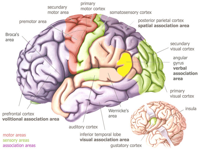 Temporal Lobe : Anatomy, Location & Function - Anatomy Info