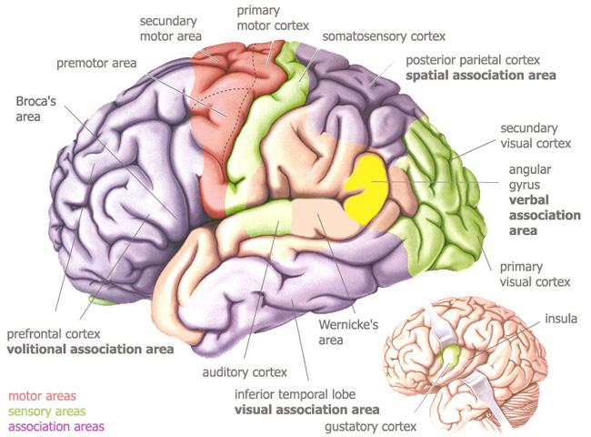 Temporal Lobe Anatomy Location Function Anatomy Info