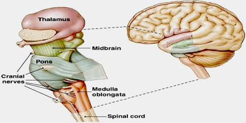 Brain Stem : Anatomy, Location & Function - Anatomy Info