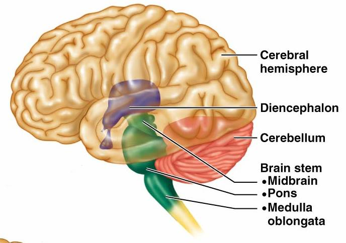 Cerebellum : Anatomy, Location & Function - Anatomy Info