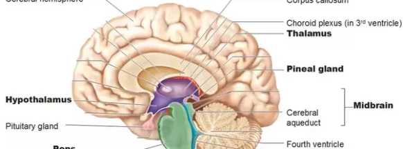 Pineal Gland : Anatomy, Location & Function