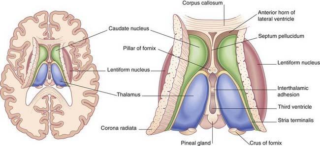 thalamus anatomy
