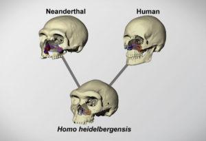 differences between Neanderthal skulls and human skulls